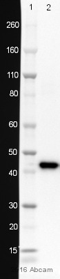 Western blot - Anti-alpha smooth muscle Actin antibody [1A4] (ab7817)