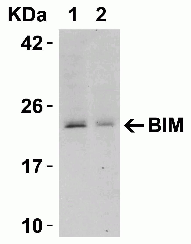 Western blot - Anti-Bim antibody (ab7888)