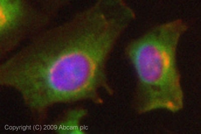 Immunocytochemistry/ Immunofluorescence - Anti-NEDD4-2 antibody (ab73386)