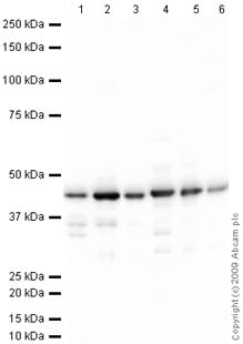 Western blot - Anti-Glutamine Synthetase antibody (ab73593)
