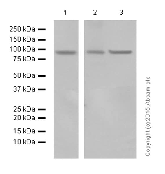 Western blot - Anti-EEF2/Elongation factor 2 antibody [EP880Y] (ab75748)
