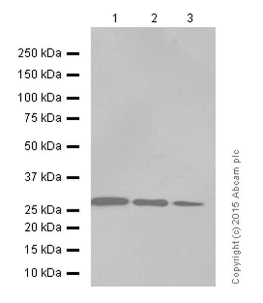 Western blot - Anti-Prohibitin antibody [EP2803Y] (ab75766)