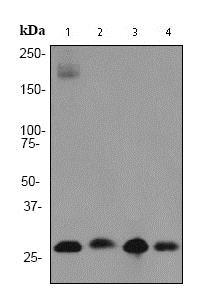 Western blot - Anti-Prohibitin antibody [EP2804Y] - Mitochondrial Marker (ab75771)