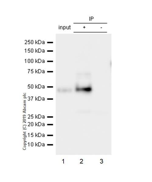 Immunoprecipitation - Anti-GAP43 antibody [EP890Y] (ab75810)