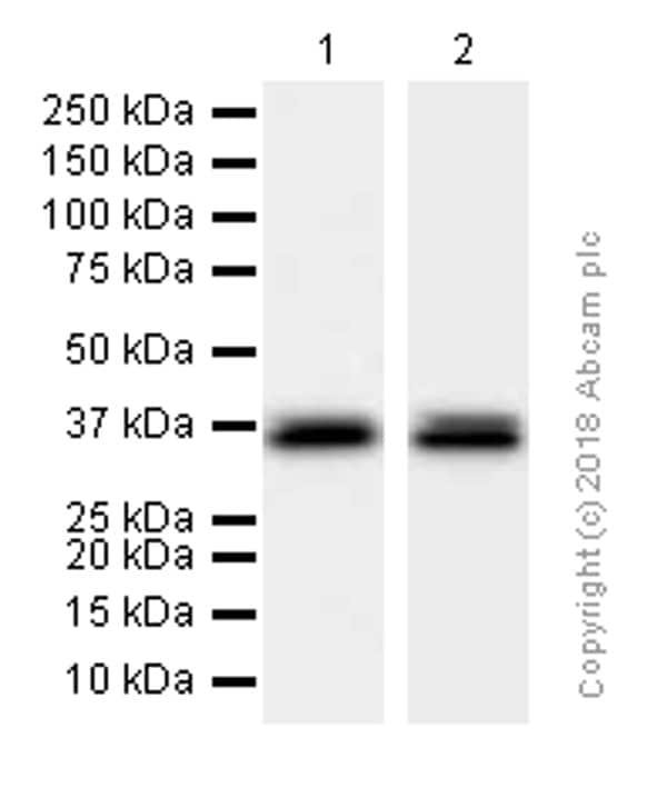 Western blot - Anti-MSI2 antibody [EP1305Y] (ab76148)