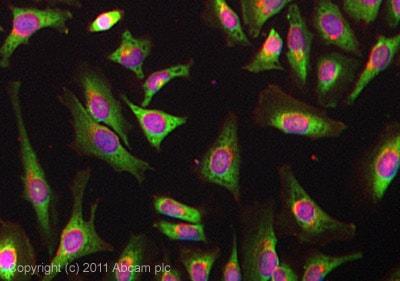 Immunocytochemistry/ Immunofluorescence - Anti-YB1 antibody [EP2708Y] (ab76149)