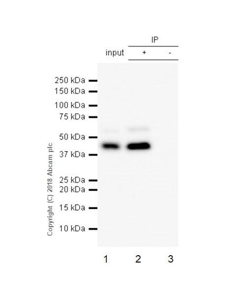 Immunoprecipitation - Anti-Cdk9 antibody [EPR3119Y] (ab76320)