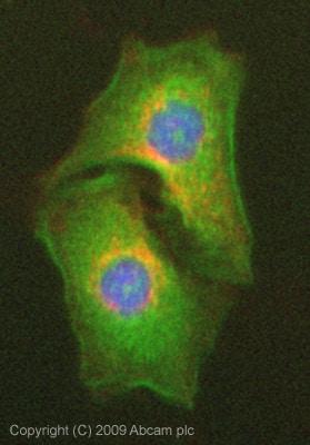 Immunocytochemistry/ Immunofluorescence - Anti-Apolipoprotein M antibody (ab76458)