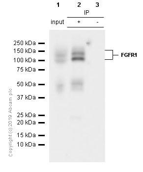 Immunoprecipitation - Anti-FGFR1 antibody [EPR806Y] (ab76464)
