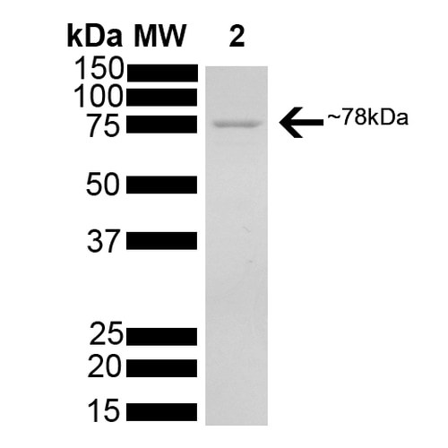 SDS-PAGE - Recombinant human GRP78 BiP protein (Active) (ab78432)