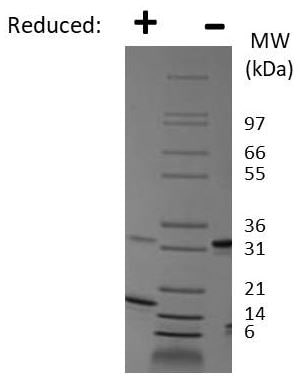 SDS-PAGE - Recombinant mouse PDGF AA protein (ab78590)