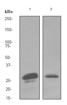 Western blot - Anti-Securin antibody [EPR3240] (ab79546)