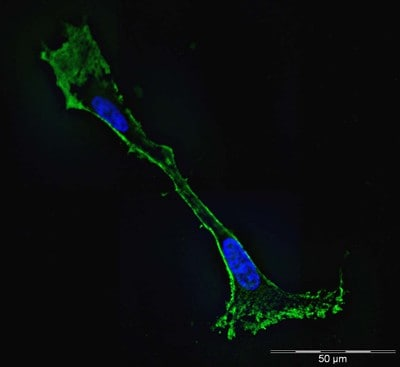 Immunocytochemistry/ Immunofluorescence - Anti-beta Actin antibody [mAbcam 8226] - Loading Control (ab8226)