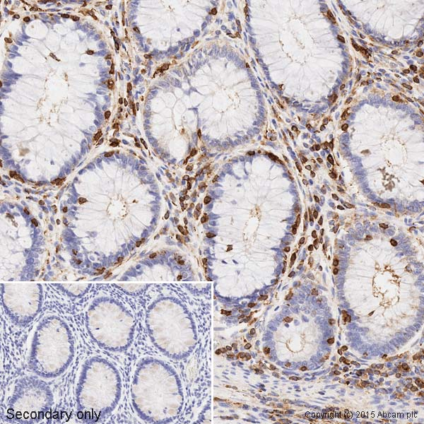 Immunohistochemistry (Formalin/PFA-fixed paraffin-embedded sections) - Anti-beta Actin antibody [mAbcam 8226] - Loading Control (ab8226)