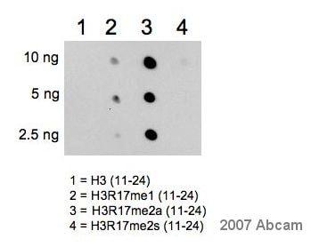 Dot Blot - Anti-Histone H3 (asymmetric di methyl R17) antibody (ab8284)