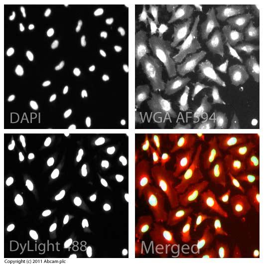 Immunocytochemistry/ Immunofluorescence - Anti-Histone H3 (tri methyl K9) antibody - ChIP Grade (ab8898)