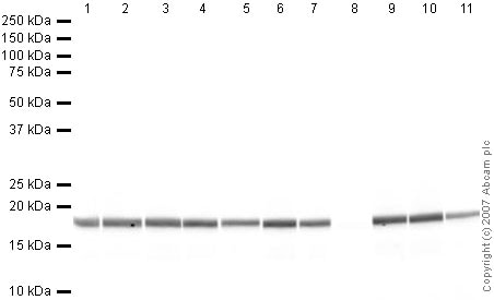 Western blot - Anti-Histone H3 (tri methyl K9) antibody - ChIP Grade (ab8898)