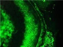 Immunohistochemistry (Formalin/PFA-fixed paraffin-embedded sections) - Anti-Cardiotin antibody [R2G] (ab8962)