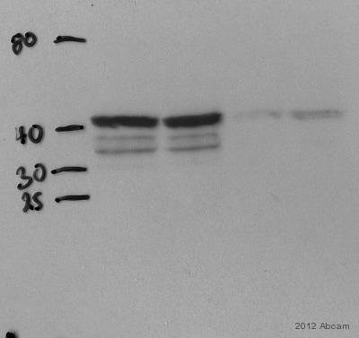 Western blot - Anti-Nanog antibody (ab80892)