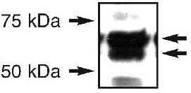 Western blot - Anti-ERO1L antibody (ab81959)