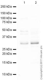 Western blot - Anti-Proteasome 20S C2 antibody (ab82521)