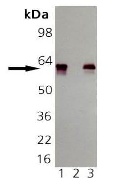 Western blot - Anti-groEL antibody [9A1/2] (ab82592)