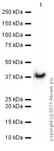 Western blot - Recombinant human GAPDH protein (ab82633)