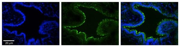 Immunohistochemistry (Formalin/PFA-fixed paraffin-embedded sections) - Anti-MTX2 antibody (ab83015)