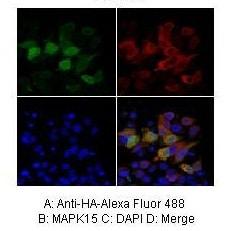 Immunocytochemistry/ Immunofluorescence - Anti-MAPK15 antibody (ab86275)