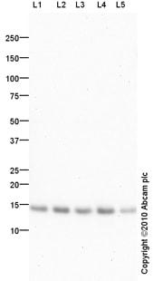 Western blot - Anti-RBX1 antibody (ab86862)