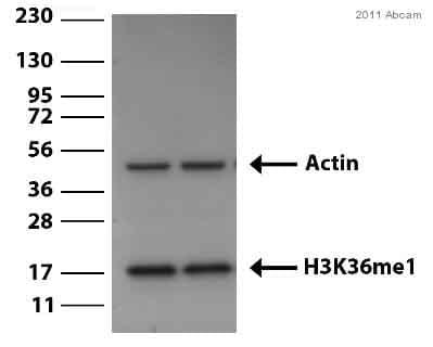Western blot - Anti-Histone H3 (mono methyl K36) antibody - ChIP Grade (ab9048)