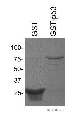 Western blot - Anti-GST antibody (ab9085)