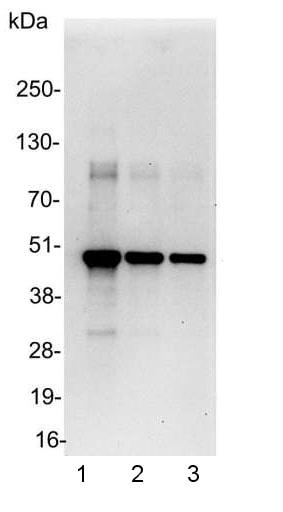 Western blot - Anti-Myc tag antibody - ChIP Grade (ab9132)