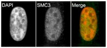Immunocytochemistry/ Immunofluorescence - Anti-SMC3 antibody (ab9263)