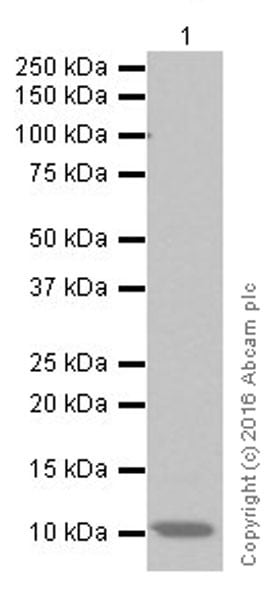 Western blot - Recombinant Human CXCL7/PBP protein (ab9556)