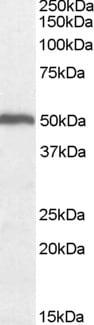 Western blot - Anti-ORC4L antibody - ChIP Grade (ab9641)