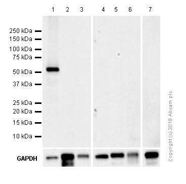 Western blot - Recombinant human TNF alpha protein (ab9642)