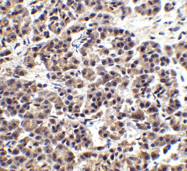 Immunohistochemistry (Formalin/PFA-fixed paraffin-embedded sections) - Anti-Endo G antibody (ab9647)