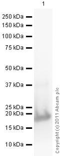 Western blot - Anti-G-CSF antibody (ab9691)