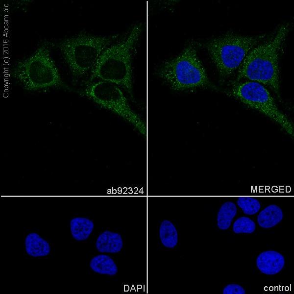 Immunocytochemistry/ Immunofluorescence - Anti-TNFAIP3 antibody [EPR2663] (ab92324)