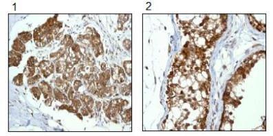 Immunohistochemistry (Formalin/PFA-fixed paraffin-embedded sections) - Anti-RanGAP1 antibody [EPR3295] (ab92360)