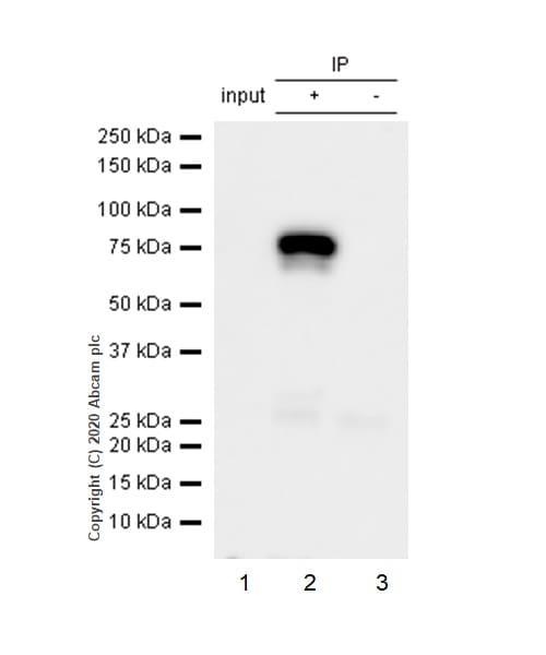 Immunoprecipitation - Anti-Menin antibody [EPR3986] (ab92443)