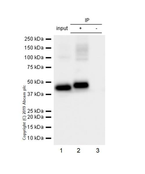 Immunoprecipitation - Anti-Angiotensin II Type 2 Receptor antibody [EPR3876] (ab92445)
