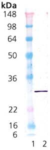 Western blot - Recombinant Mouse Hsp27 protein (ab92457)