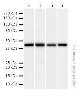 Western blot - Anti-ACADM/MCAD antibody [EPR3708] (ab92461)