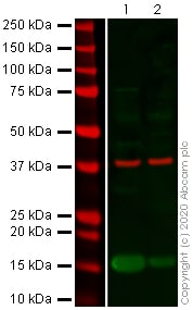 Western blot - Anti-TGF beta 1 antibody (ab92486)