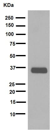 Western blot - Anti-SOX2 antibody [EPR3131] (ab92494)
