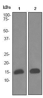 Western blot - Anti-FABP4 antibody [EPR3579] (ab92501)