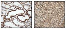 Immunohistochemistry (Formalin/PFA-fixed paraffin-embedded sections) - Anti-P2Y6 antibody [EPR3816] (ab92504)