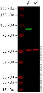 Western blot - Anti-STAT1 alpha antibody [EPYR2154] (ab92506)